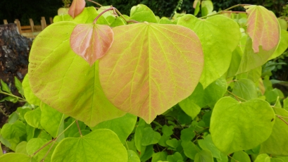Cercis-hearts-of-gold