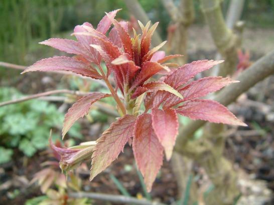 emerging-shoot-of-sambucus-nigra