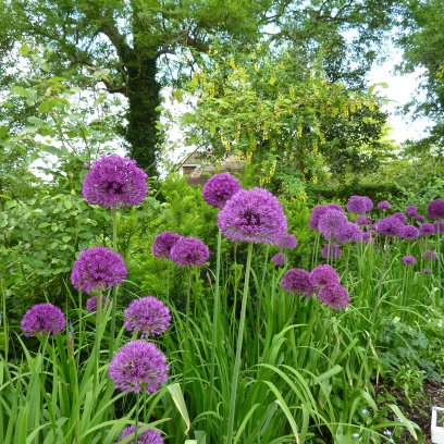 Allium 'Purple Sensation' mixed with Iris sibirica, make a low maintenance scheme in front of yew hedge and laburnum. Gorgeous!