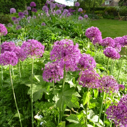 Alliums planted in good quantity really have the wow factor in late May.