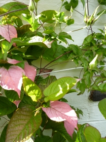 wallplants